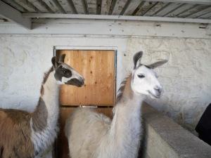 two llamas
