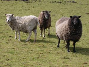 3 sheep in a field