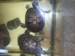 Yellow Bellied Turtles
